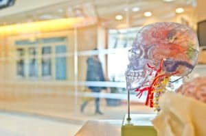 plastic model of a brain