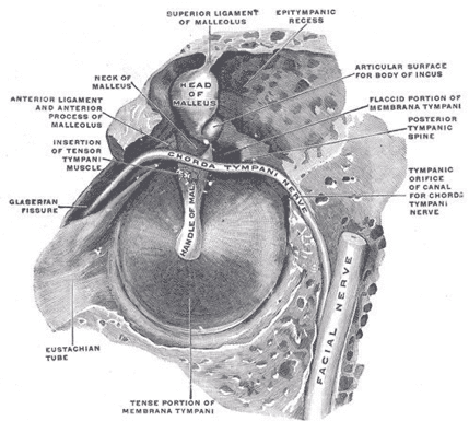 Diagram of the inner ear