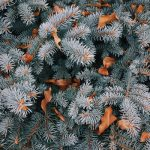 Dried leaves sitting in a pine tree.